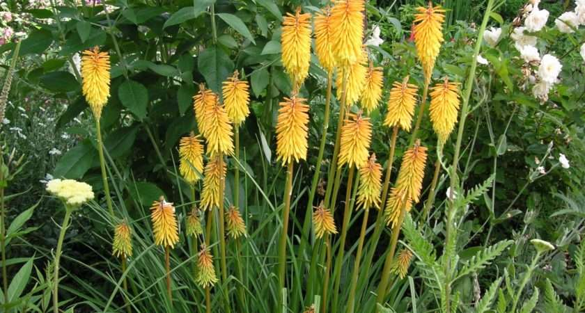 Buy Red Hot Poker Kniphofia Royal Standard Delivery Crocus