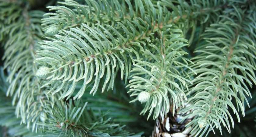 Christmas Trees Frosted Colorado Spruce Feel Real Artificial
