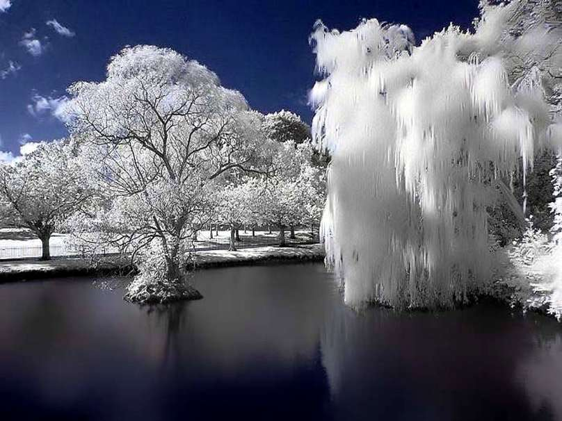 Frozen Willow Forwallpaper