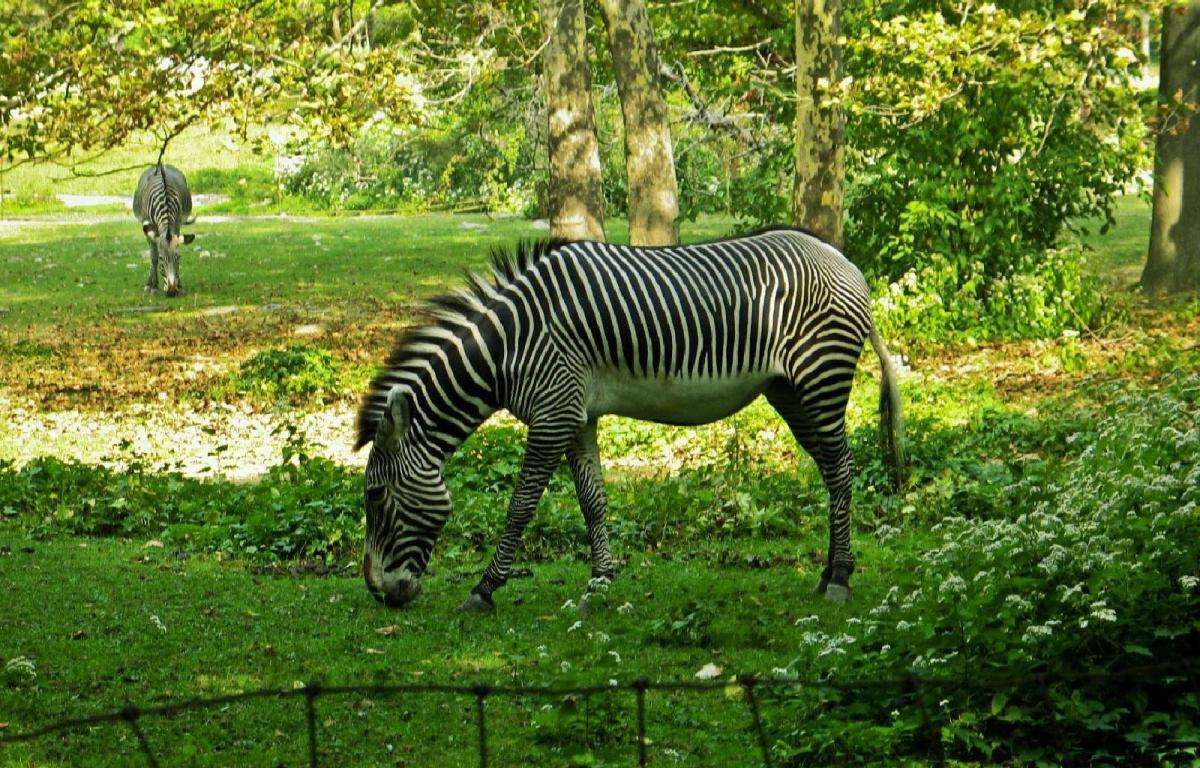 House Latest Zebras Zoo Eating Grass