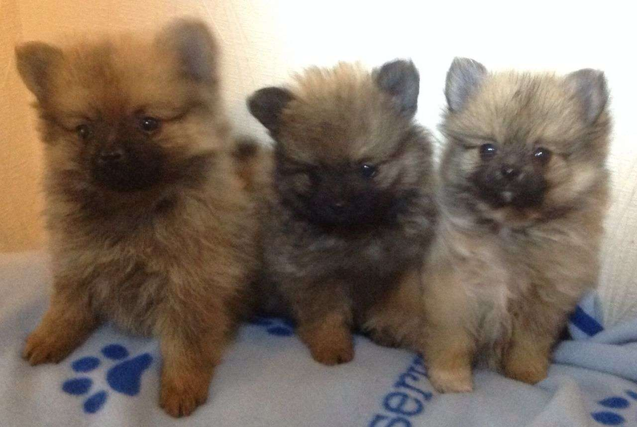 Registered Tiny Teacup Pomeranians Bradford West Yorkshire