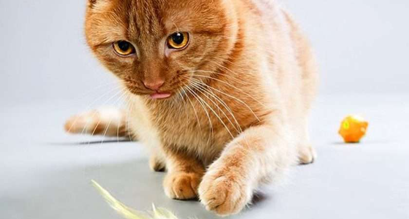 Should Play Your Cat Every Day Catster Best Toys Cats